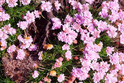 Fleurs au sud des Cliffs of Moher