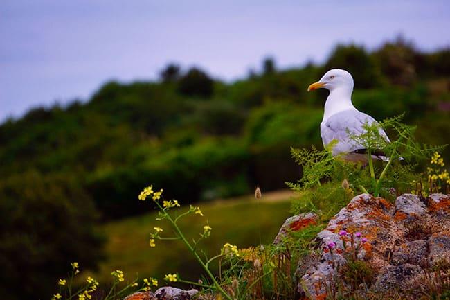 Goéland sur la côte de Granit rose