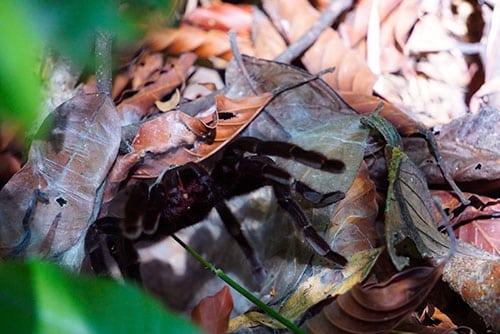Tarentule dans la jungle du parc national de Khao Sok en Thailande