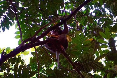 Langur avec son bébé dans la jungle du parc national de Khao Sok en Thailande