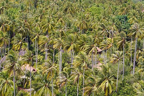 Palmiers à Railay Beach, en thailande