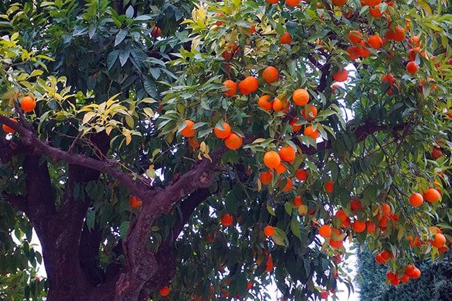 Les orangers en Andalousie