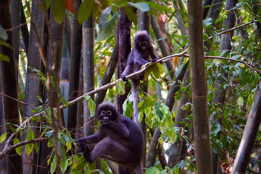 Langurs dans la jungle du parc national de Khao Sok en Thailande