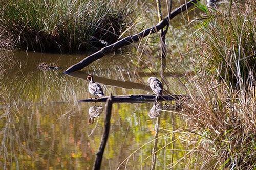 Photo d'oiseaux sauvages dans la Réserve Ornithologique du Teich