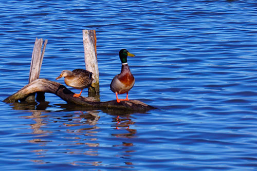 Photo de canards sur l'eau dans la Réserve Ornithologique du Teich