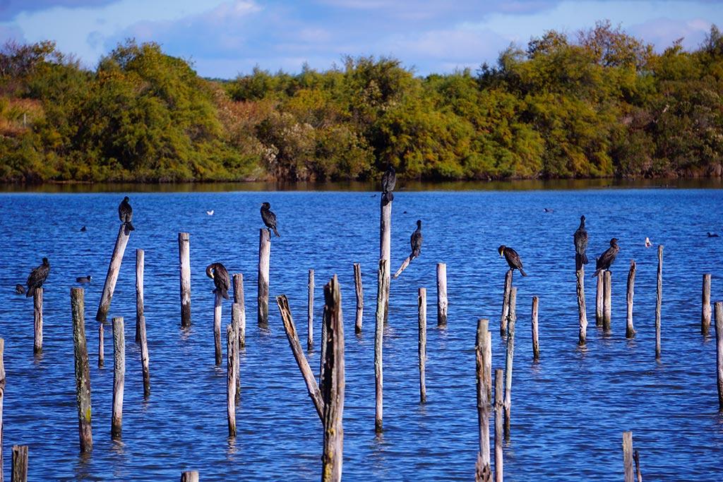Image d'oiseaux perchés sur des bouts de bois dans la réserve ornithologique du teich