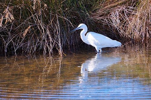 Photo d'Aigrette dans la Réserve Ornithologique du Teich
