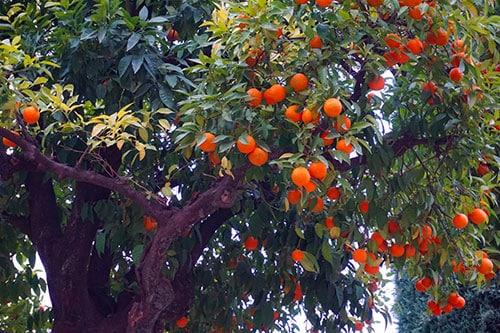 Photographie d'un oranger en Andalousie