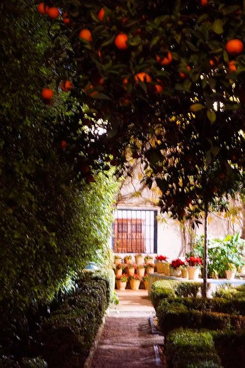Photographie d'un oranger dans un patio de Cordoue