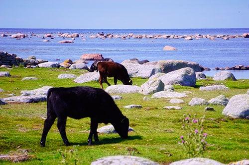 Photo d'un troupeau de vaches sur l'île d'Oland en Suède