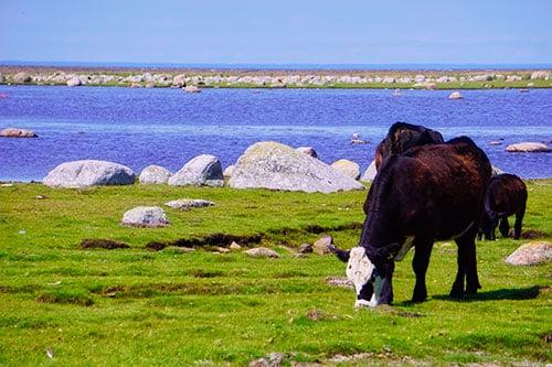 Photo de vaches sur l'île d'Oland en Suède