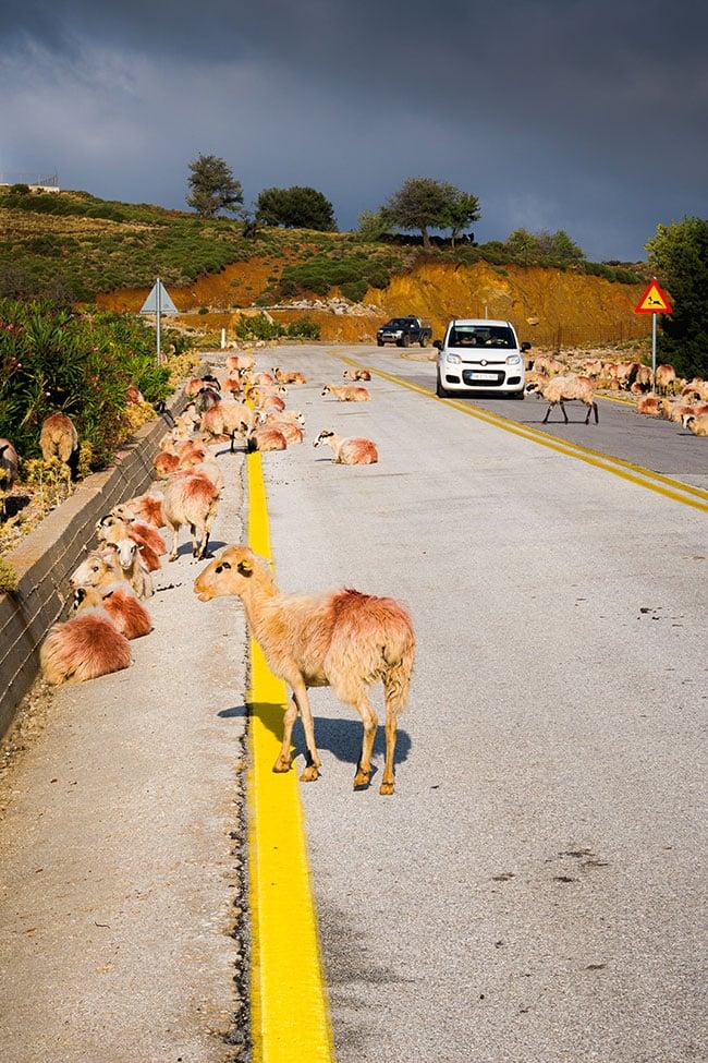 Photographie de chèvres sur la route qui mène aux gorges de Samaria
