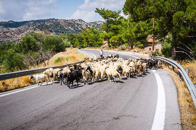 Photographie d'un troupeau de chèvres et de bergers au milieu de la route en crete