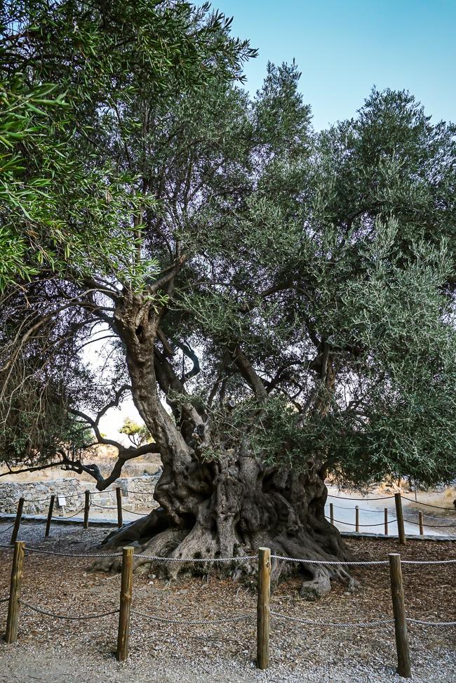 Photographie de l'olivier de Kavoussi