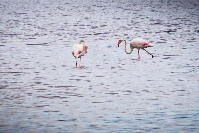 Photographie de flamands rose à Peyriac